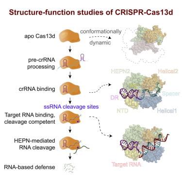 CRISPR-Cas13b